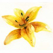 watercolour-lily